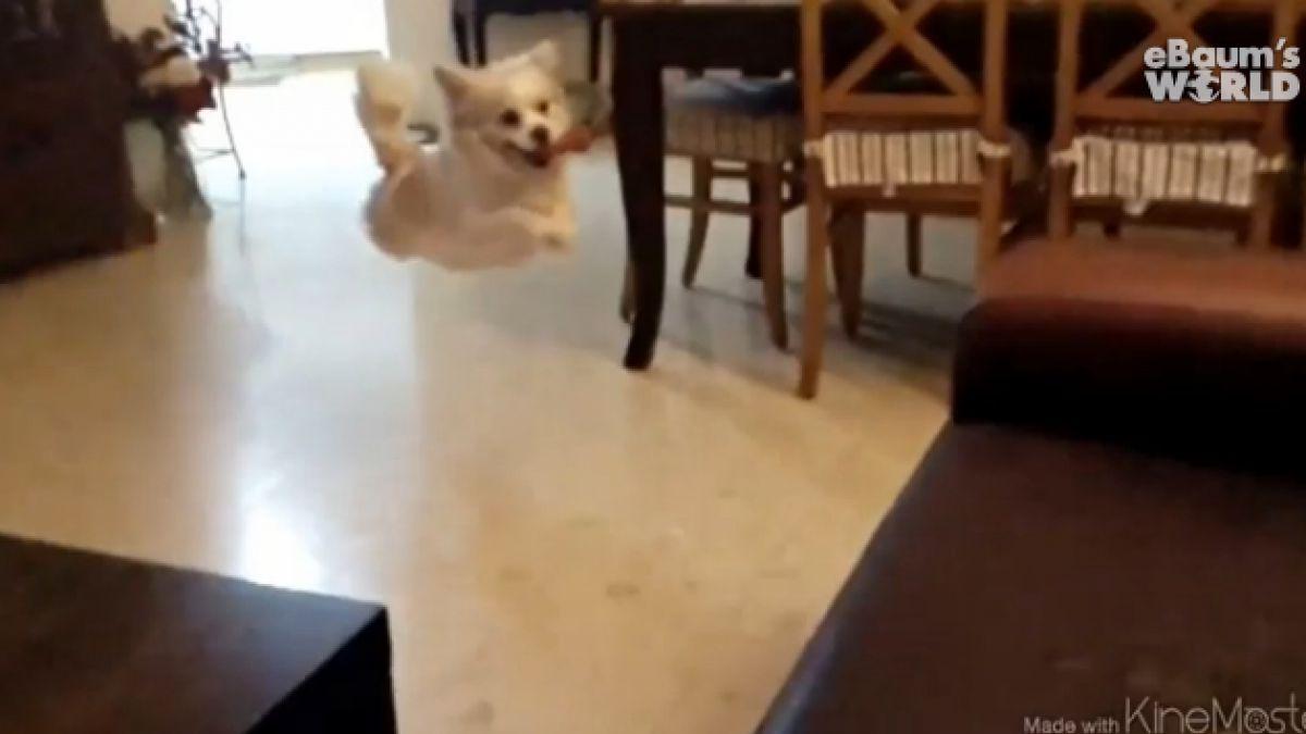 (VIDEO) Perro casi logra impresionante salto