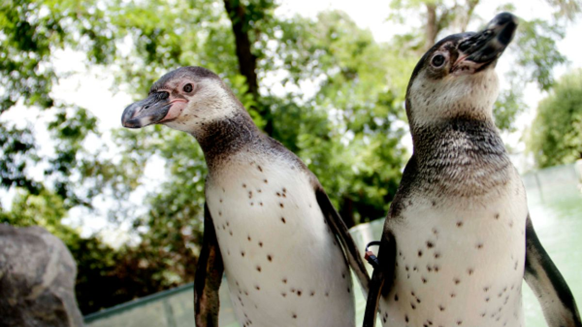 SAG rescata a pingüinos afectados por derrame de petróleo en Quintero