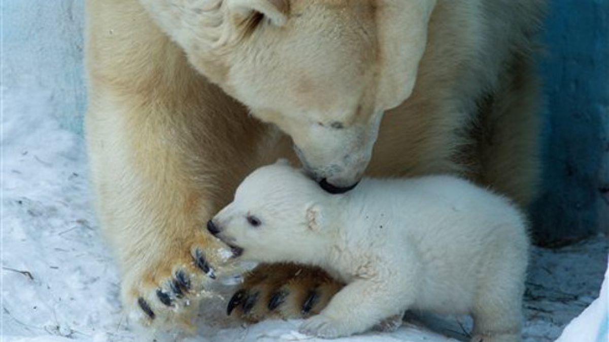 Científicos ahora observan osos polares desde el espacio