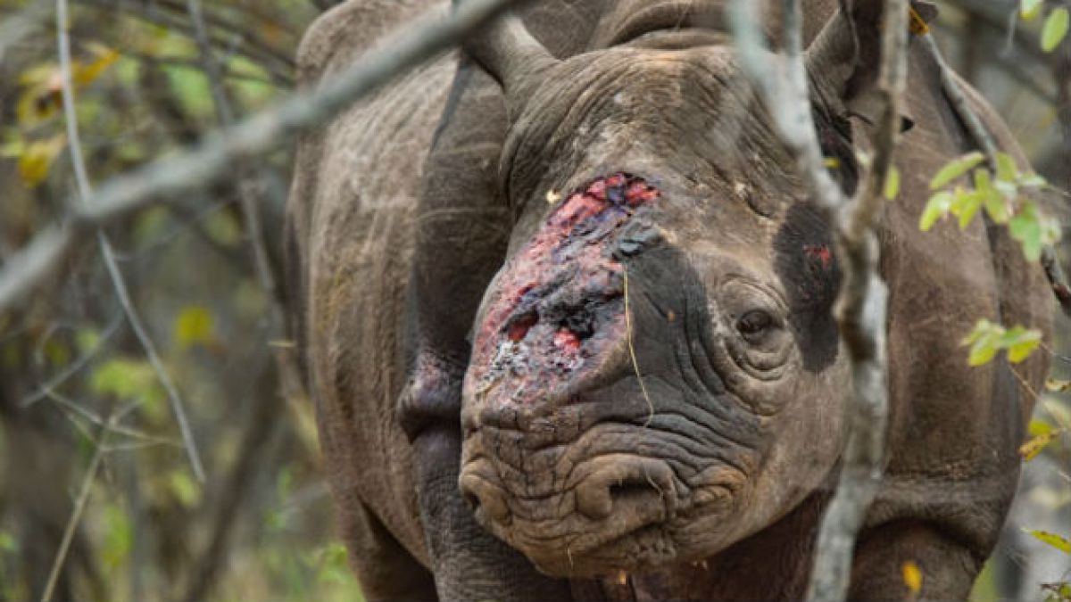 El plan de Sudáfrica para intentar salvar a sus rinocerontes