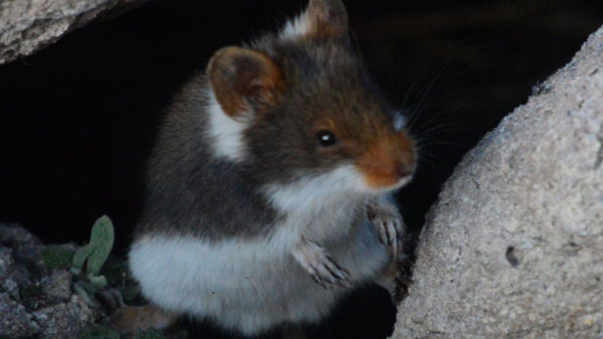 Ketocui: el nuevo roedor altiplánico chileno