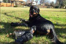 [VIDEO] Brutus: El perro que volvió a caminar gracias a prótesis de acero