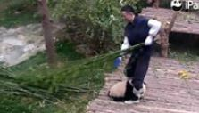 El irresistible panda acosador que no quiere soltar la pierna de su cuidador