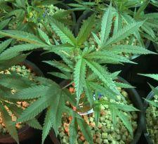 Congreso de Perú aprueba uso medicinal de la marihuana