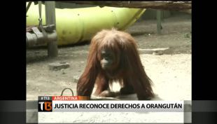 [T13] Justicia reconoce derechos a orangután en Argentina