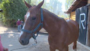 9 caballos de polo fueron robados esta madrugada en la comuna de Colina