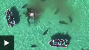 [VIDEO] Los turistas que acabaron rodeados por 70 tiburones hambrientos