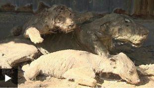 """Animales disecados junto a tigres que se mueren de hambre: cierra el """"peor zoológico del mundo"""""""