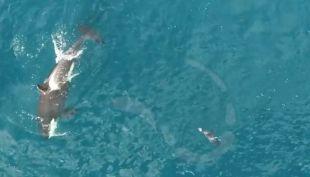 [VIDEO] Drone graba a un grupo de orcas cazando a una foca en Noruega
