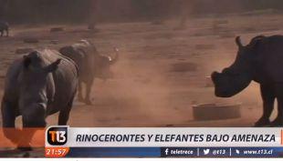 [VIDEO] Rinocerontes bajo amenaza de extinción