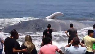 Nuevo varamiento masivo de ballenas preocupa a la comunidad científica