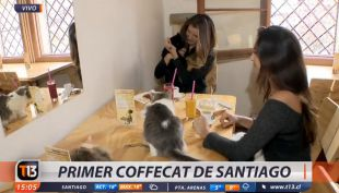 [VIDEO] El primer coffecat de Santiago: para compartir e incluso adoptar gatos
