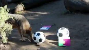 [VIDEO] Afamado lobo pronostica así al ganador del duelo de Chile ante Portugal