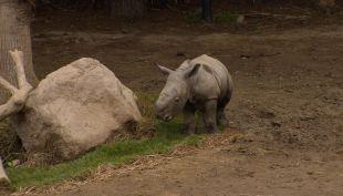 Pantaleón: conoce al primer rinoceronte blanco nacido en Sudamérica