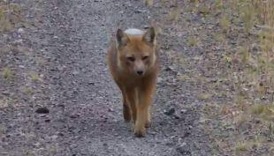 [VIDEO] Liberan a zorro encontrado en la comuna de  Las Condes