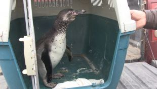 [VIDEO] Antofagasta: logran rehabilitar a pingüino y tortuga
