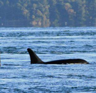 [VIDEO] Graban a grupo de orcas cazando lobos marinos en las costas de la región del Biobío