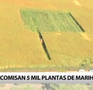 Decomisan 5 mil plantas de marihuana en Curicó