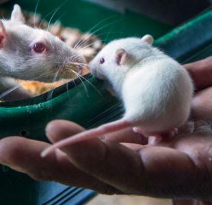 Ratones infértiles dan a luz gracias a ovarios impresos en 3D