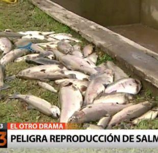 Erupción del volcán Calbuco ocasiona graves perdidas en la industria salmonera