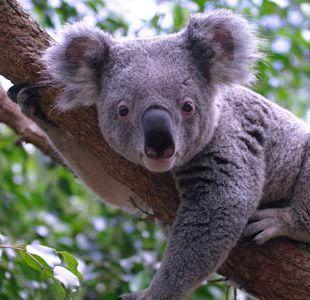 Australia promete millones de dólares para ayudar a sus koalas