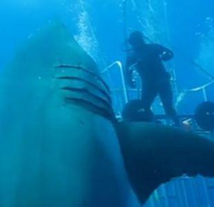 Deep Blue es el tiburón blanco más grande conocido hasta ahora