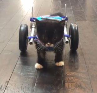 [VIDEO] Gato sin dos patas traseras logra caminar gracias a pequeña silla de ruedas