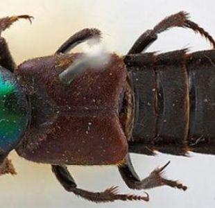 Hitler, Darth Vader, Guevara y otros 6 famosos que han inspirado nombres de escarabajos