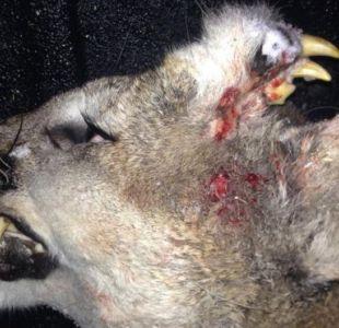 Un puma mutante en Estados Unidos tenía dientes crecidos en su frente