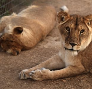 Se fugan dos leones, tigres y un jaguar de un zoológico de Alemania