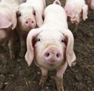 Sufre ataque de epilepsia y es comida viva por sus propios cerdos