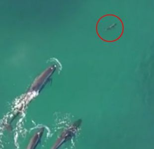La increíble escena de unas orcas cazando a un tiburón