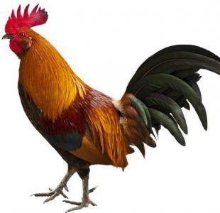 La historia del pollo: salió de la selva peleando y fue despreciado hasta que conquistó el mundo