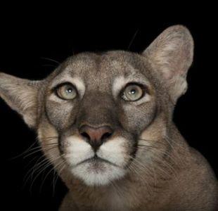 Los pumas son una de las especies vulnerables que Sartore ha retratado como parte del proyecto National Geographic Photo Ark. Este puma vive en el Parque Zoológico Lowry de Tampa, Florida.