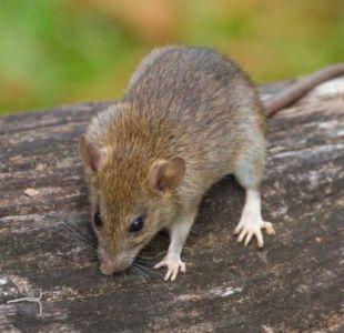 Los roedores se ven en parques a plena luz del día.