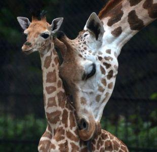 [VIDEO]  Madre jirafa defiende a su cría herida de un grupo de hienas