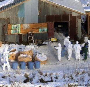 Japón: sacrifican medio millón de aves por brote de gripe aviar