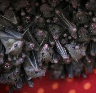 Los secretos de las conversaciones de los murciélagos que los científicos acaban de develar