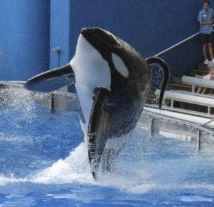 Con más de 5.000 kilos y 6,9 metros, Tilikum era la orca más grande del mundo que vivía en cautiverio.