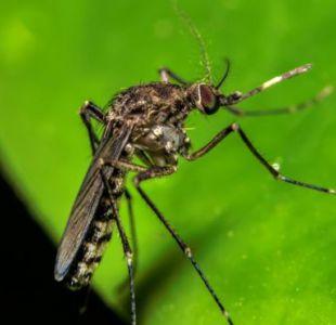 El mosquito que transmite la fiebre oropouche es diferente al del zika, el dengue y la chikungunya.