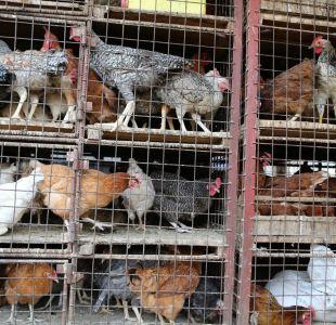 OMS: alerta máxima ante rápida propagación de la gripe aviar