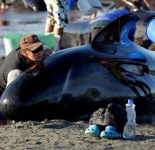 [FOTOS Cientos de ballenas varan en una playa de Nueva Zelanda