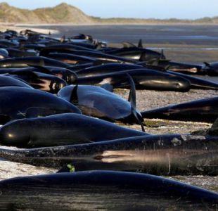 Riesgo de explosión: la monumental tarea de despejar una playa de cientos de ballenas muertas