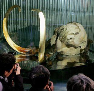 Científicos aseguran que el mamut está cerca de volver a la vida