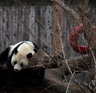 Panda nacida en Estados Unidos regresó a China tras 16 horas de viaje