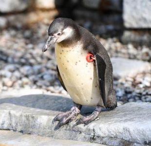 El misterio del pingüino muerto en Mannheim