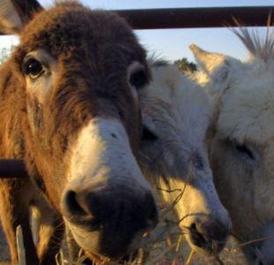Se estima que hay unos 44 millones de burros en todo el mundo.