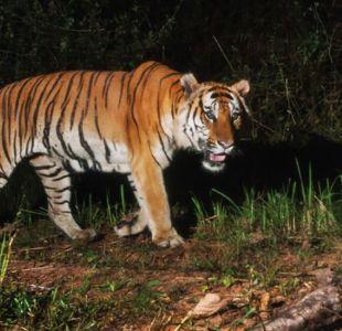 El sorpresivo avistamiento de una población de tigres