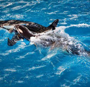 Nace la última orca en cautiverio dentro del parque temático SeaWorld
