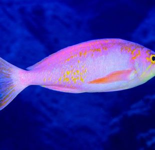 Las nuevas especies descubiertas en la primera expedición a aguas profundas de Isla de Pascua